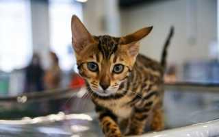 Может ли заразиться бешенством домашняя кошка?