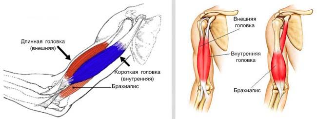 Структура мышц бицепса.