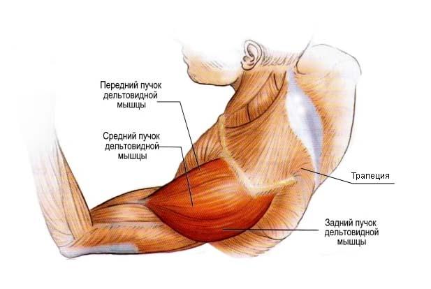 Как устроена и из чего состоит мышца плеча.